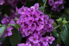 Stäng sig upp av den härliga purpurfärgade blomman med tjocka gröna sidor mot bakgrund field blåa oklarheter för grön vitt wispy  royaltyfri fotografi