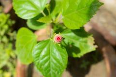 Stäng sig upp av den härliga röda hibiskusknoppen i en trädgård royaltyfri foto