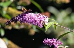 Stäng sig upp av den isolerade fjärilsamiralen Vanessa Atalanta på den rosa lila blommasyringaen som är vulgaris med grön suddig  fotografering för bildbyråer