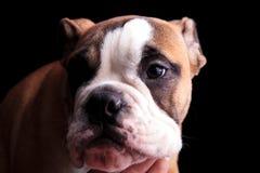 Stäng sig upp av den ledsna engelska bulldoggen som ser för att sid royaltyfria bilder