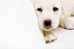 Stäng sig upp av den ledsna labrador valpen på soffan Arkivbild