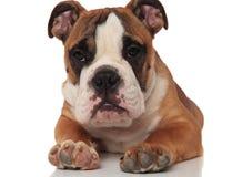 Stäng sig upp av den ledsna liggande engelska bulldoggen som ser för att sid royaltyfri fotografi