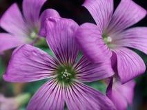 Stäng sig upp av den lyckliga växt av släktet Trifoliumblomman royaltyfri fotografi