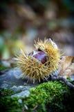 Stäng sig upp av den mogna söta kastanjen i skogen royaltyfri foto