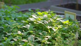 Stäng sig upp av den nya gröna pepparmintmintkaramellen, Melissablad i organisk grönsakträdgård på den soliga sommardagen, plockn lager videofilmer