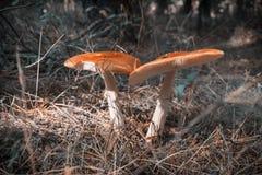 Stäng sig upp av den röda amanitaen Muscaria för den klipska amanitaen i skogen i nedgång Färgrik platsbakgrund för höst i sollju Royaltyfria Foton