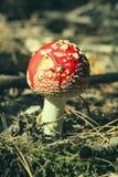 Stäng sig upp av den röda amanitaen Muscaria för den klipska amanitaen i skogen i nedgång Färgrik platsbakgrund för höst i sollju Royaltyfri Foto