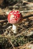 Stäng sig upp av den röda amanitaen Muscaria för den klipska amanitaen i skogen i nedgång Färgrik platsbakgrund för höst i sollju Arkivfoton