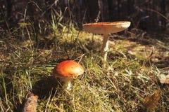 Stäng sig upp av den röda amanitaen Muscaria för den klipska amanitaen i skogen i nedgång Färgrik platsbakgrund för höst i sollju Arkivfoto