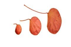 Stäng sig upp av den röda leafen royaltyfria bilder