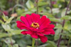 Stäng sig upp av den röda Zinniablomman i trädgård eller parkera Royaltyfri Bild