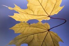 Stäng sig upp av den reflekterade delen av den guld- gula lönnlövet Arkivfoto