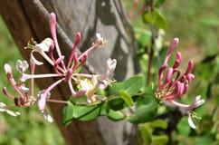 Stäng sig upp av den rosa och vita lösa blomman Royaltyfri Bild