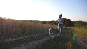 Stäng sig upp av den siberian skrovliga hunden som drar koppeln under att jogga längs vägen nära vetefält på solnedgången Lycklig arkivfilmer