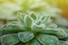 Stäng sig upp av den suckulenta Echeveria växten i mini- kruka, sidorna pressas samman in i lager royaltyfri bild
