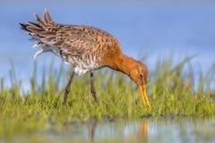 Stäng sig upp av den svart tailed godwiten som söker efter föda i träsk arkivfoton