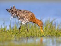 Stäng sig upp av den svart tailed godwiten som söker efter föda i våtmark arkivfoto