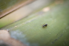 Stäng sig upp av den svarta myran som vilar på trät, makrostående av en myra Royaltyfri Bild