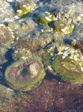 stäng sig upp av den torkade havsgurkan Royaltyfri Foto
