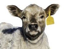 Stäng sig upp av den vita kalven med gula den isolerade öraetiketten - royaltyfria foton