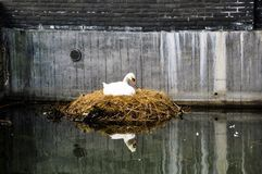 Stäng sig upp av den vita svanen som bygga bo på en stadskanal/ett stads- djurliv Arkivfoto