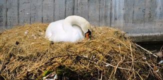Stäng sig upp av den vita svanen som bygga bo på en stadskanal/ett stads- djurliv Royaltyfria Foton