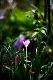 Stäng sig upp av den Zephyranthes liljan eller regnlilja Royaltyfria Bilder