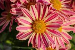 Stäng sig upp av dessa härliga rosa och vita blommor för en kyrkabukett fotografering för bildbyråer