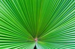 Stäng sig upp av det gröna bladet i den berömda Singapore botaniska trädgården Arkivbild