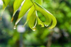 Stäng sig upp av det gröna bladet i den berömda Singapore botaniska trädgården Arkivfoto