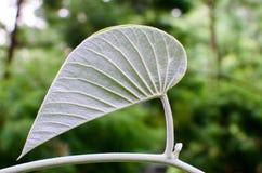 Stäng sig upp av det gröna bladet i den berömda Singapore botaniska trädgården Royaltyfri Foto