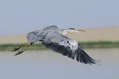 Stäng sig upp av det Grey Heron flyget ovanför sjön Royaltyfri Foto