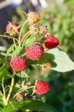 Stäng sig upp av det mogna och omogna hallonet i fruktträdgården Växande naturlig buske av hallonet Filial av hallonet i solljus royaltyfri fotografi