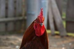 Stäng sig upp av det röda tupphuvudet på den traditionella lantliga gårdsplanen Royaltyfria Foton