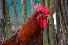 Stäng sig upp av det röda tupphuvudet på den traditionella lantliga gårdsplanen Fotografering för Bildbyråer