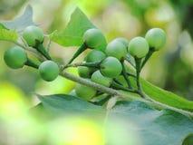 Stäng sig upp av det Turkiet bäret, lös aubergine, ärtaaubergine eller Solanum royaltyfri foto