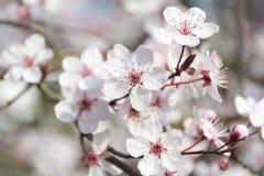Stäng sig upp av det vita körsbärsröda trädet under vårtid royaltyfri foto