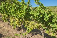 Stäng sig upp av druvor på vinrankor i Stadtbredimus arkivfoton