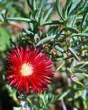 Stäng sig upp av edulis art för den röda blommacarpobrotusen Övre slut och arkivbild