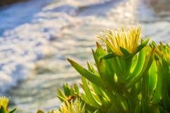 Stäng sig upp av edulis vildblommor för den gula Iceplant carpobrotusen Royaltyfria Foton