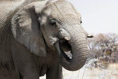 Stäng sig upp av elefanten som äter i den Chobe nationalparken, Botswana royaltyfri bild