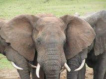 Stäng sig upp av en afrikansk elefant Royaltyfri Fotografi
