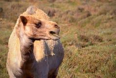 Stäng sig upp av en afrikansk kamel på gräset arkivfoto