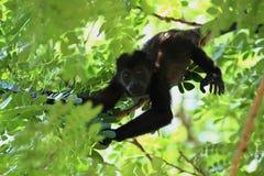 Stäng sig upp av en behandla som ett barngrodaapa upp ett träd i djungeln Royaltyfria Bilder