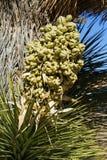 Stäng sig upp av en blom på en Joshua Tree Royaltyfria Bilder