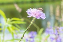 Stäng sig upp av en blomma i en trädgård med myror för ett bi och vinrankalusen på blomman Royaltyfri Foto