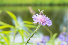 Stäng sig upp av en blomma i en trädgård med myror för ett bi och vinrankalusen på blomman Royaltyfri Bild