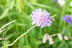 Stäng sig upp av en blomma i en trädgård med myror för ett bi och vinrankalusen på blomman Arkivbild