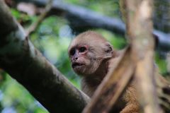 Stäng sig upp av en brun capuchinapa, cebusalbifrons fotografering för bildbyråer