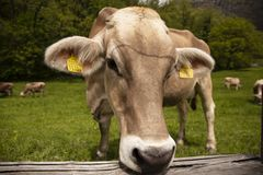 Stäng sig upp av en brun kvinnlig ko i en schweizisk äng royaltyfri fotografi
